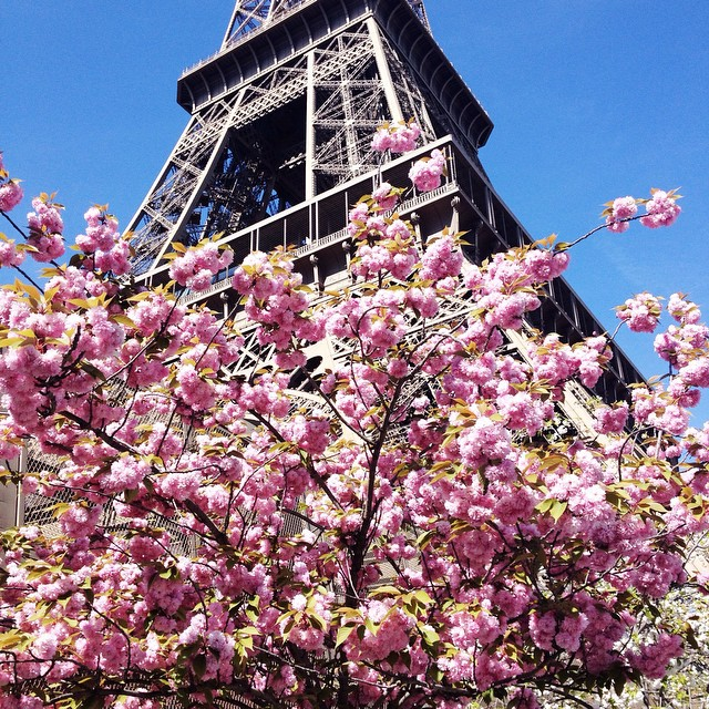 Full bloom of cherry blossoms in Paris ? #frompariswithlove
